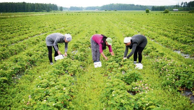Finlandiya Yurtdışından Tarım İşçileri Getirmeye Hazırlanıyor