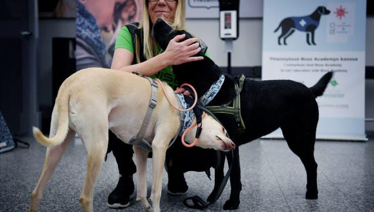 Köpekler koronavirüsün kokusu ile hastaları tespit etmeye başladı