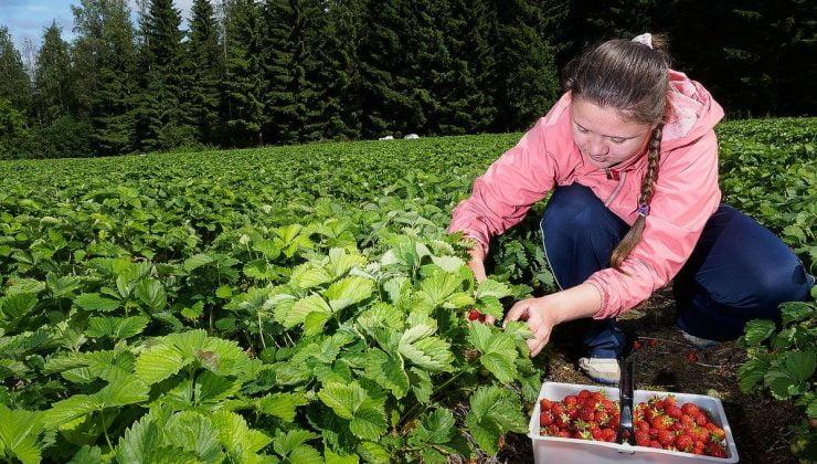 Finlandiya'da meyve toplayıcılarının yüzü gülüyor