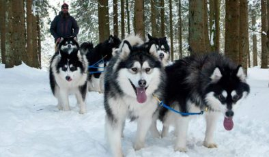Koronavirüs Lapland turizmini vurdu, Huskyler zor durumda