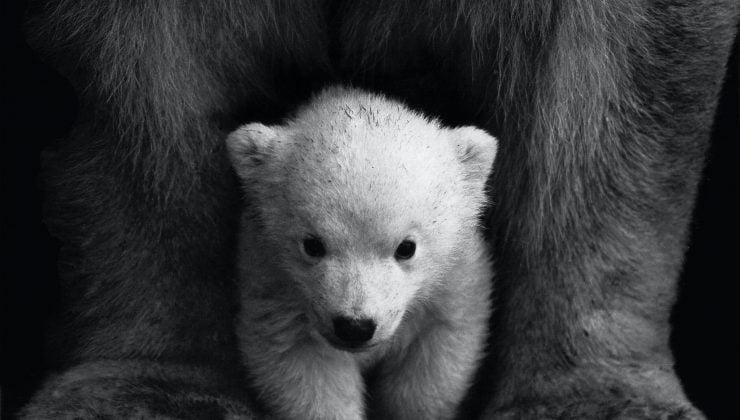 Hayvanat bahçesindeki ayılar kış uykusuna hazırlanıyor