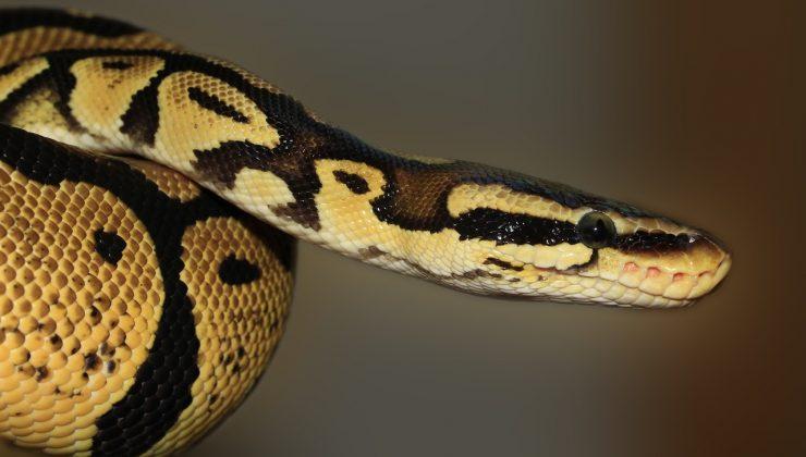 Helsinki'de bir piton yılanı evinden kaçtı